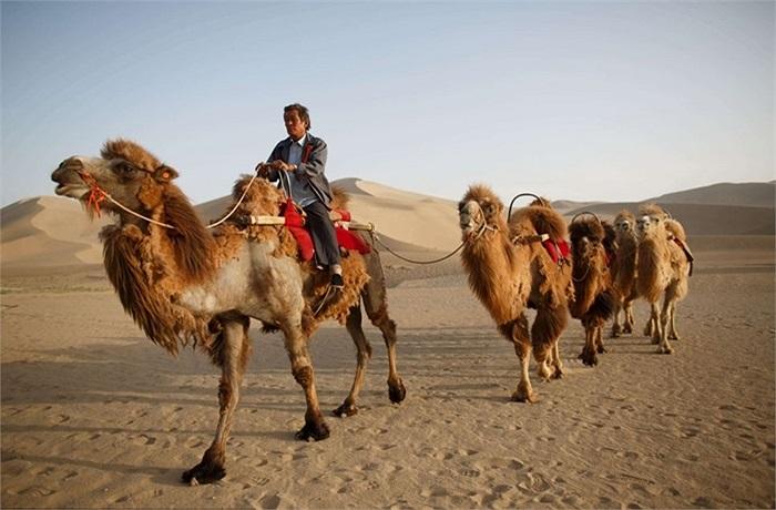 Sa mạc khô cằn chỉ có những chú lạc đà là cảm thấy thoải mái