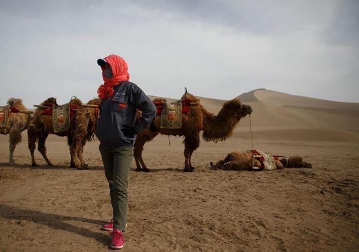 Chú lạc đà kiệt sức nằm nghỉ trong khi các đồng loại vẫn đứng đợi khách du lịch