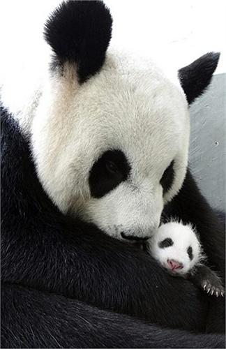Gấu trúc Yuan Yuan chụp ảnh cùng con trong vườn thú Đài Bắc tại Đài Bắc, Đài Loan