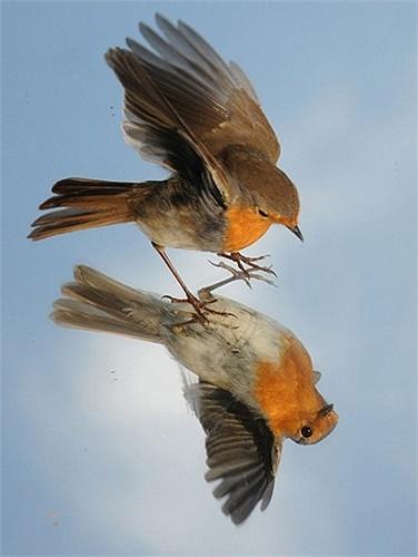 Chú chim với hình ảnh phản chiếu trong gương được nhiếp ảnh gia Mike Walker chụp lại