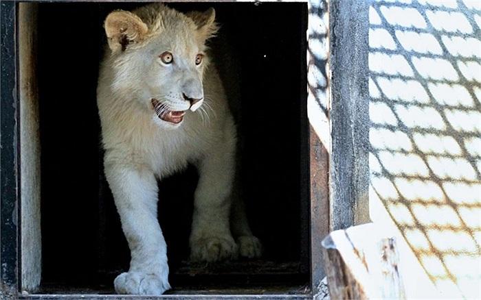 Chú sư tử trắng 7 tháng tuổi bước ra lồng giữ của mình khi đến một sở thú ở Hodonin, Cộng hòa Séc