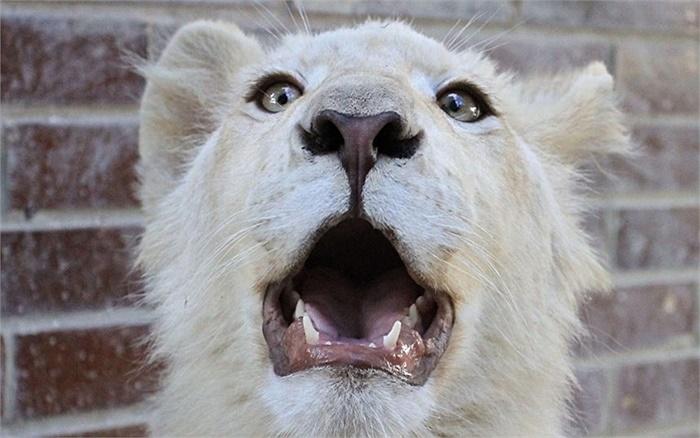 Sư tử trắng khám phá xung quanh tại một vườn thú ở Hodonin, Cộng hòa Séc