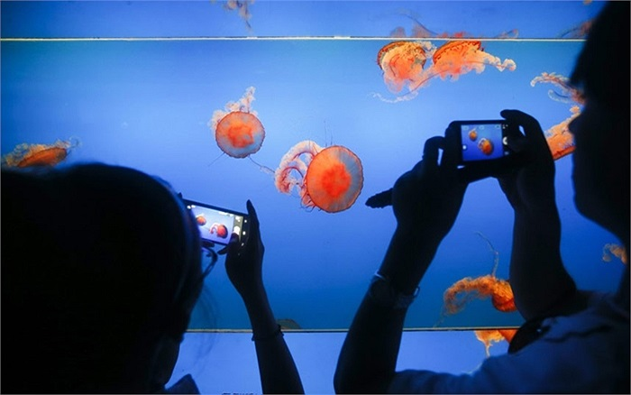 Dùng điện thoại chụp ảnh những con sứa đầy màu sắc tại Thủy cung Bắc Kinh ở Bắc Kinh, Trung Quốc