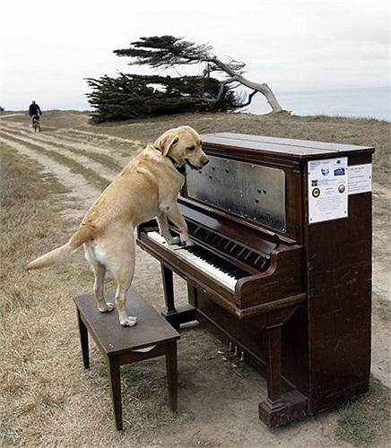 Chú chó Spencer tạo dáng chơi piano để chụp ảnh ở Half Moon Bay, California