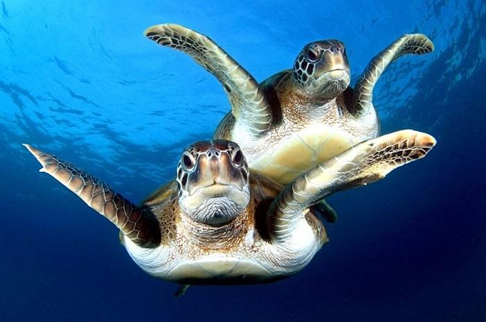 Khoảnh khắc tuyệt vời với động tác bơi giống nhau của 2 chú rùa ở quần đảo Canary