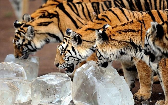 Hổ Siberia trong công viên hổ Siberia Guaipo, ở Thẩm Dương, Liêu Ninh, Trung Quốc phải liếm đá để chống chọi với nắng nóng khắc nghiệt