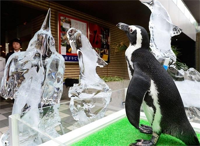 Chim cánh cụt từ thủy cung Shinagawa đứng cạnh tượng nước đá để thu hút du khách ở Tokyo, Nhật Bản