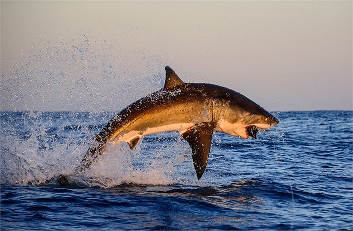 Cá mập trắng khổng lồ nhảy khỏi mặt nước đớp mồi ở Gansbaai, Nam Phi