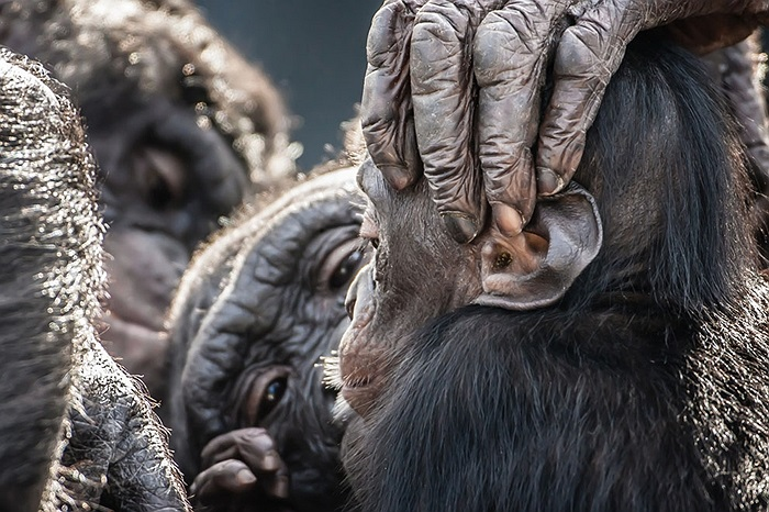 Những con tinh tinh chăm sóc lẫn nhau ở vườn thú Florida