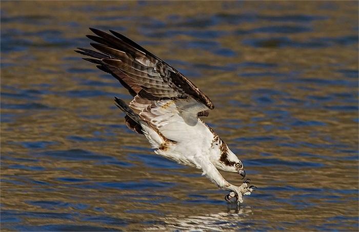 Chim ưng sà xuống mặt nước bắt cá