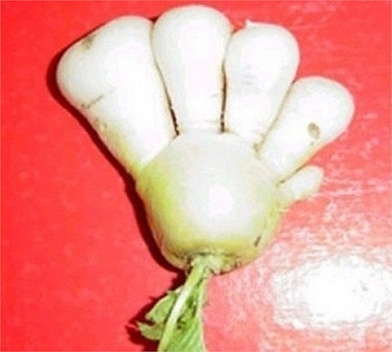 Củ cải '5 ngón'
