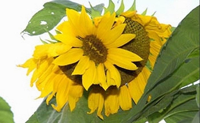 Hoa hướng dương nở ngay trên một bông khác
