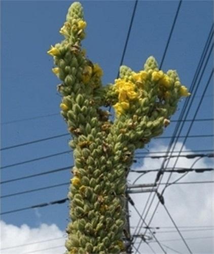 Một loại thực vật mọc theo dạng 'tháp'