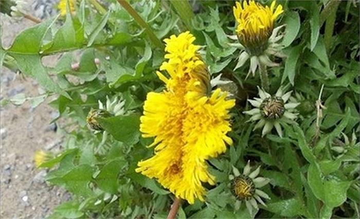 Hoa cúc vàng hình thù kỳ dị