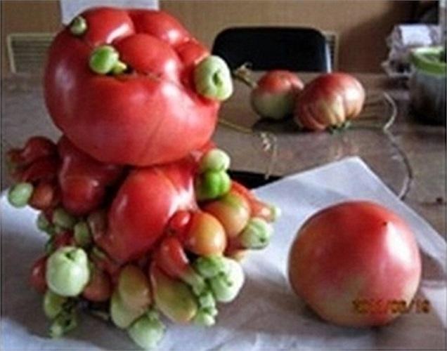 Cà chua đột biến bên cạnh quả bình thường