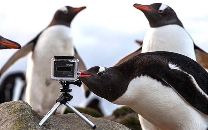Một chú chim cánh cụt kiểm tra chiếc máy ảnh GoPro trên quần đảo Falkland