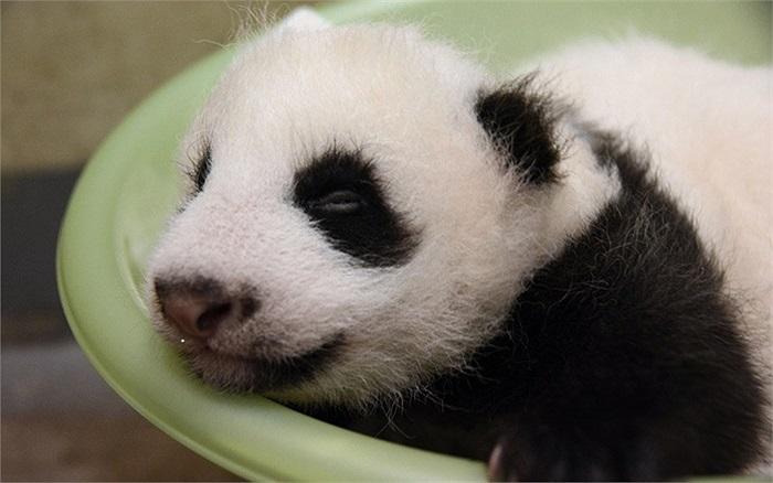 Gấu trúc sơ sinh đầu tiên ở vườn thú Đài Bắc, Đài Loan bắt đầu mở mắt