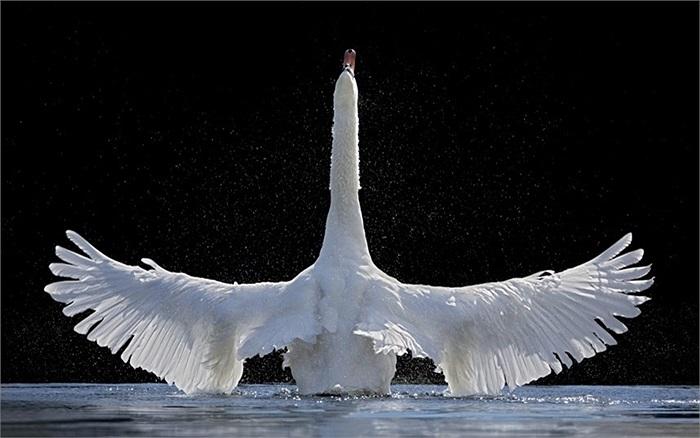 Thiên nga dang cánh dạy con cách bơi lên từ hồ nước ở Smoerum, Đan Mạch