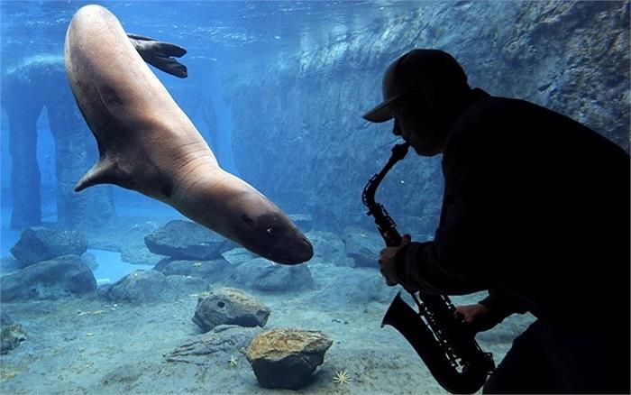 Nghệ sĩ Steve Westnedge chơi kèn saxophone cho một chú báo biển trong Vườn thú Taronga ở Sydney nghe