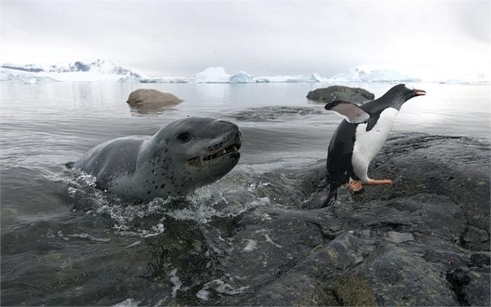 Chim cánh cụt may mắn thoát khỏi báo biển trên đảo Cuverville, Nam Cực