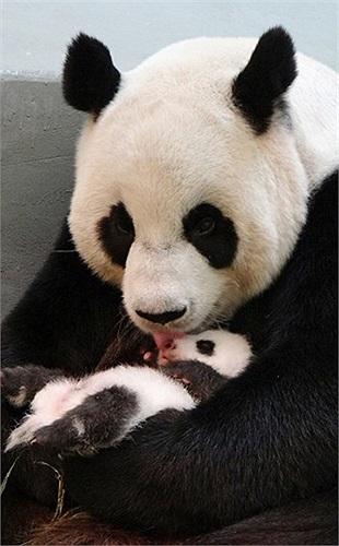 Gấu trúc Yuan Yuan âu yếm con mình trong phòng nuôi ở vườn thú Đài Bắc, Đài Loan