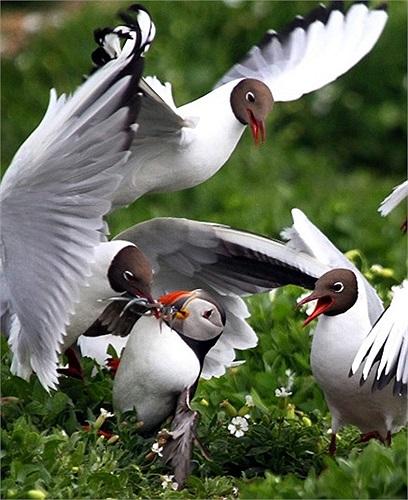 Bầy mòng biển tranh cướp miếng mồi trên miệng một loài chim biển trên quần đảo Farne, Anh