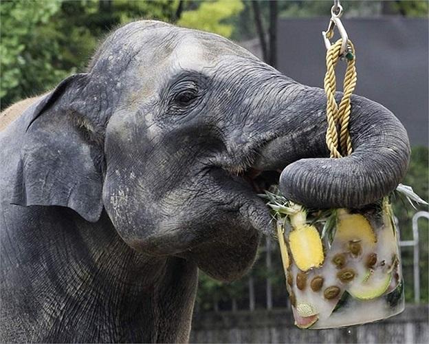 Voi châu Á ăn hoa quả đông lạnh trong vườn thú ở Hàn Quốc