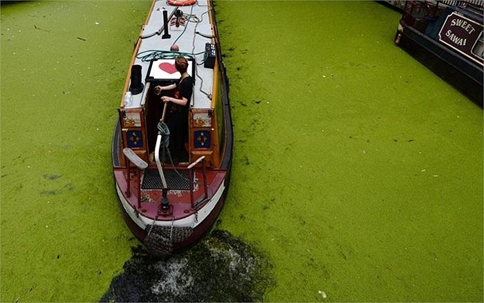 Tảo nở hoa trên bề mặt lưu vực kênh Paddington ở London, Anh
