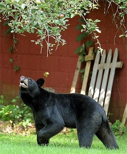 Một con gấu định ăn trộm táo trong sân sau của một ngôi nhà ở Stroudsburg, Pennsylvania, Mỹ