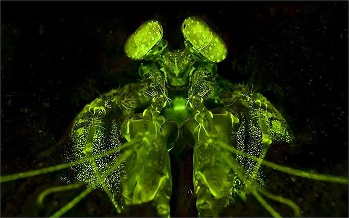 Hình ảnh tôm hùm màu xanh lục giống quái vật ngoài hành tinh do chụp ảnh bằng thiết bị đặc biệt dưới nước ở Thái Lan