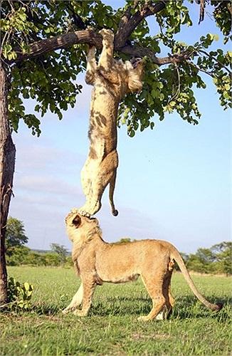 Con sư tử giúp đồng loại leo xuống từ một thân cây trong công viên Antelope ở Zimbabwe