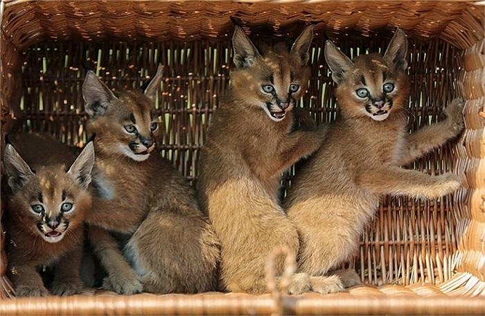 4 chú mèo Caracal trong giỏ vận chuyển tới sở thú Animal Park ở Berlin, Đức