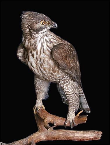 Tên khoa học của loài này là Nisaetus nipalense, thuộc chi Spizaetus, thuộc loài chim săn mồi.