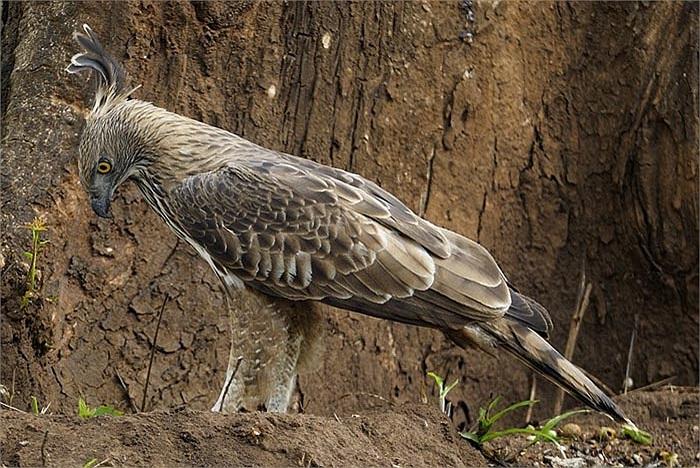 Loài diều núi cũng đẻ trứng, ấp con, nhưng điều khác biệt với các loài chim là nó chỉ đẻ một trứng.