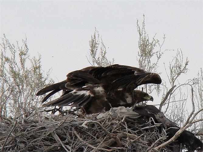 Diều núi ăn động vật có vú nhỏ, chim và nhiều loài bò sát. Chúng quắp cả con gà lên không trung, chộp cả chú rắn độc bay lên trời xanh.