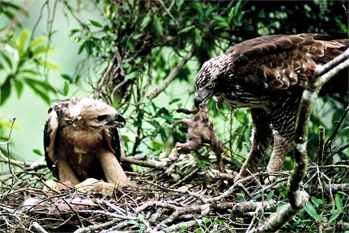 Chúng có vẻ đẹp thần thánh của loài chim, nên bị giới chơi chim săn lùng ráo riết.