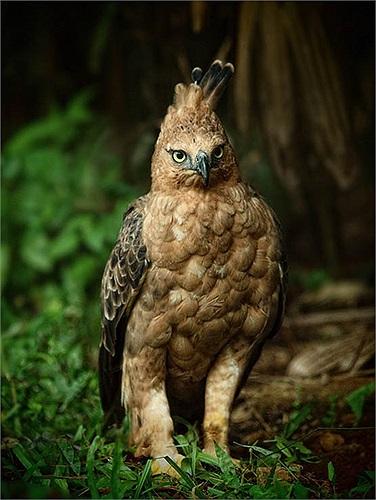 Người mê chim sẵn sàng bỏ ra số tiền 10 triệu đồng để mua một chú diều núi về chơi.