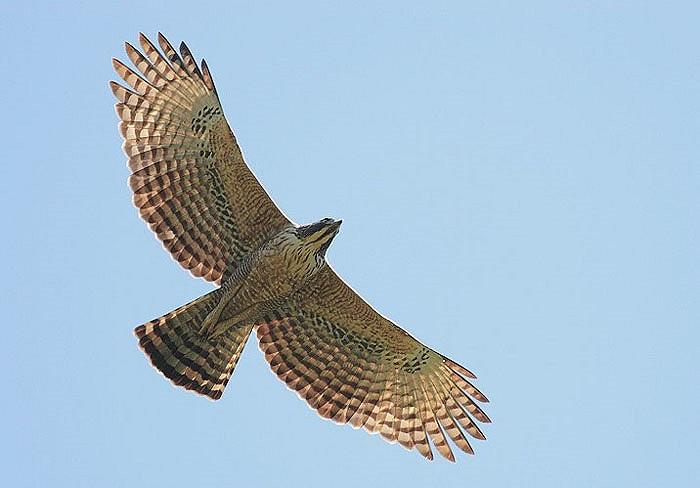 Ở các vùng miền núi Việt Nam, chúng xuất hiện tương đối ít, hiếm khi gặp, nhưng chúng thực sự là chúa tể bầu trời, là vua của các loài chim.