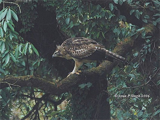Loài diều núi này sinh sống ở địa bàn khá rộng, từ Ấn Độ, Nepal và Sri Lanka đến Thái Lan, Đài Loan, Indonesia và Nhật Bản và Việt Nam.