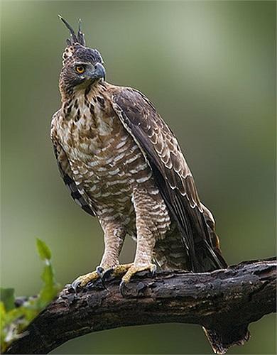 Loài diều núi có độ dài thân từ 70 đến 100cm với sải cánh dài đến 1,8m. Ở Việt Nam, diều núi nhỏ hơn, nhưng chúng cũng được coi là loài chim lớn nhất sải cánh trên bầu trời.