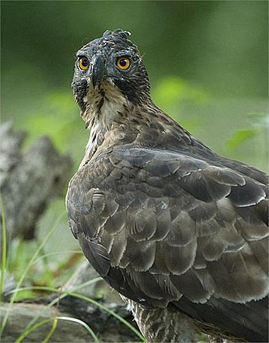 Con trưởng thành có màu nâu nhạt dưới bụng. Cánh rất rộng và chiếc đuôi cong.