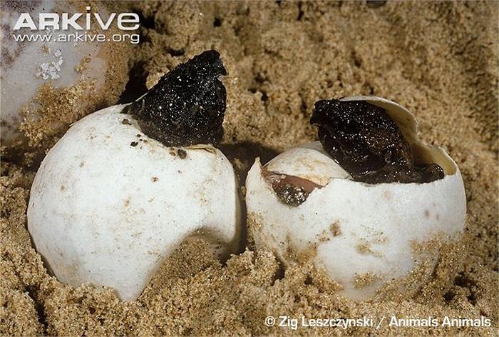 Loài rùa này có độ tuổi trung bình khoảng 100 đến 120 năm