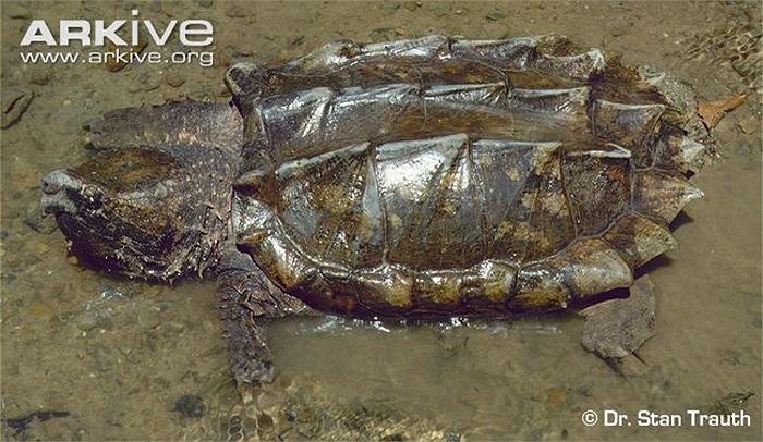 Loài này cũng đã xuất hiện tại Châu Á và Châu Âu