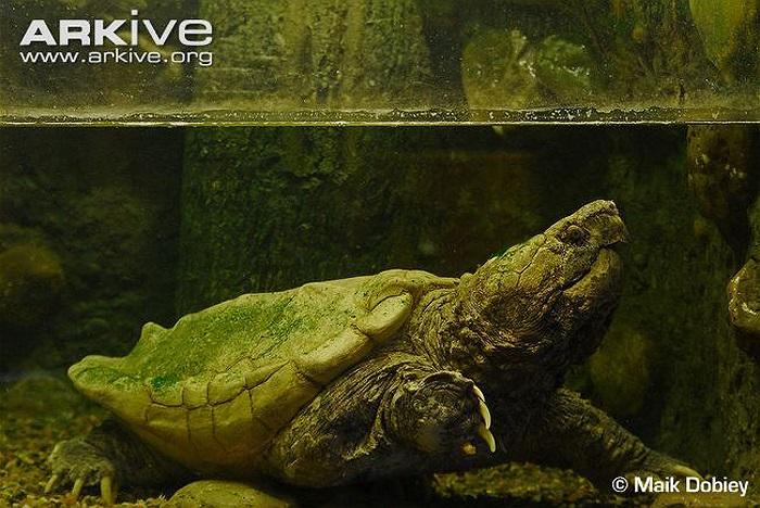 Con rùa nặng nhất của loài này có trọng lượng lên đến 183 kg, được tìm thấy ở Kansas, Mỹ năm 1937