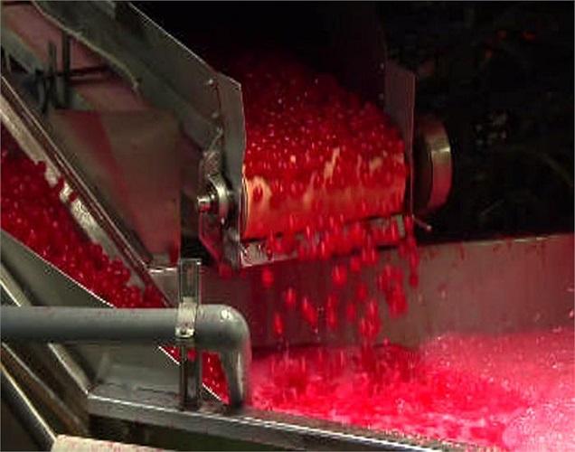 Màu đỏ đậm nổi bật trong khu vực chế biến anh đào ngâm rượu.