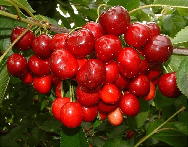 Đây là loại anh đào tươi ngon, nguyên chất được thu hoạch tại các cánh đồng ở bang Oregon và Washington (Mỹ).