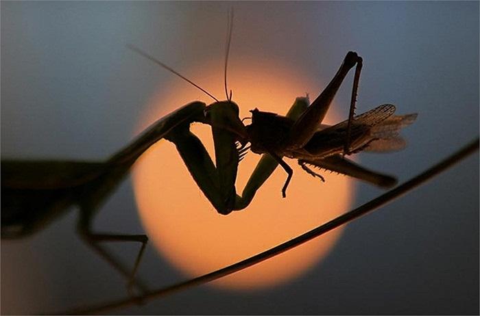 Trong ánh hoàng hôn, hình ảnh một chú bọ ngựa ăn thịt một con châu chấu càng gây ấn tượng mạnh.
