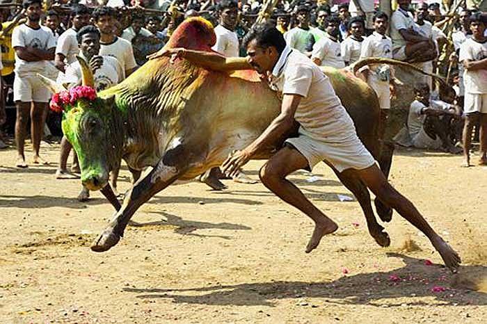 Tại bang Tamil Nadu của Ấn Độ từ lâu đã tồn tại một môn thể thao truyền thống gọi là Jallikattu – môn đấu bò của người Ấn.