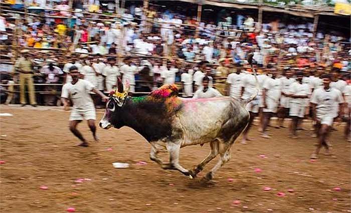 Tại đây người ta không cần đến áo choàng đỏ và thanh kiếm sắc, họ chế ngự con bò hung hãn bằng chính đôi tay trần và lòng can đảm của mình.