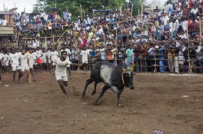 Năm 2008, môn thể thao truyền thống này bị cấm sau khi có cáo buộc cho rằng người ta cho bò uống rượu và ăn ớt để tăng độ hung dữ của chúng.